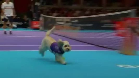 'Ball dogs' fetch in Champions Tennis competition