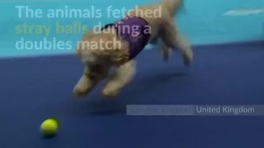 Canines help fetch balls at tennis tournament in London